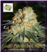 Cream of the Crop Auto Cash Crop Feminised Cannabis Seeds